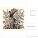 January. Pteris Argentea. Andiantum Formosum. Sarracenia Drummondi. Adiantum Cultratum. Pteris Macrophyllus. Dania Diversifolia. by Anonymous