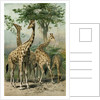 South African Giraffes by Anonymous