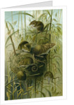 Harvest Mouse by Anonymous