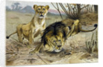 Lion and Lioness by Anonymous