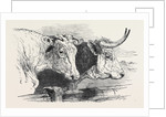 Smithfield Club Prize Cattle Show: Short Horns, Class 12 by Anonymous