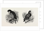 A Hawk from Nature and a Hawk from the National Gallery by Anonymous