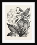 Jasmine-Flower Rhododendron by Anonymous
