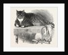 Large Cat, 1850 by Anonymous