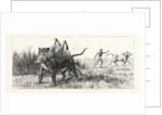 Tiger-Netting in Bengal: As the Tiger Shoulders His Victim the Alarm is Carried to the Village by Anonymous