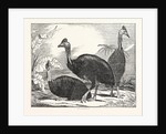 Cassowaries by Anonymous