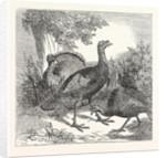 Wild Turkeys by Anonymous