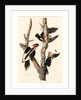Ivory-Billed Woodpecker by Anonymous