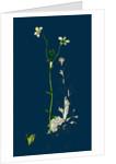 Saxifraga Hirta, Var. Genuina; Irish Mossy Saxifrage, Var. A. by Anonymous