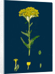 Achillea Tomentosa; Woolly Yellow Yarrow by Anonymous