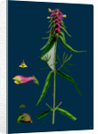 Melampyrum Cristatum; Crested Cow-Wheat by Anonymous