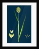 Phalaris Canariensis; Canary-Grass by Anonymous