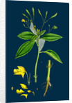 Impatiens Parviflora; Small Balsam by Anonymous