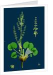 Oxyria Reniformis; Kidney-Shaped Mountain Sorrel by Anonymous