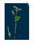 Polygonum Fagopyrum; Common Buckwheat by Anonymous