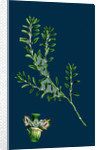 Polygonum Aviculare, Arenastrum; Common Knot-Grass by Anonymous