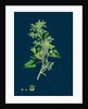 Chenopodium Murale; Nettle-Leaved Goosefoot by Anonymous