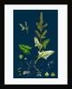 Atriplex Deltoidea; Triangular-Leaved Orache by Anonymous