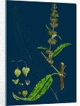 Rumex Pratensis; Meadow Dock by Anonymous