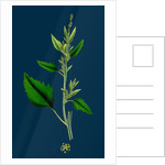 Chenopodium Album, Var. Candicans; White Goosefoot by Anonymous