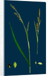 Carex Panicea; Pink-Leaved Sedge by Anonymous