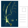 Carex Sylvatica; Pendulous Wood Sedge by Anonymous