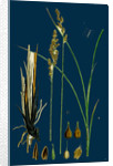 Carex Paradoxa; Paradoxical Sedge by Anonymous
