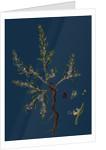 Polygonum Maritimum; Sea Knot-Grass by Anonymous