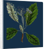 Pyrus Scandica; Lobed-Leaved White-Beam by Anonymous