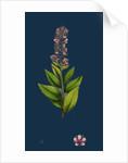 Spiraea Salicifolia; Willow-Leaved Spiraea by Anonymous