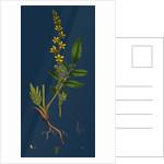 Agrimonia Eupatoria; Common Agrimony by Anonymous