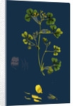 Medicago Maculata; Spotted Medick by Anonymous