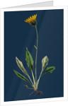Hieracium Melanocephalum; Alpine Hawkweed by Anonymous