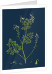Fumaria Pallidiflora; Pale Flowered Fumitory by Anonymous