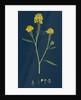 Brassica Nigra; Black Mustard by Anonymous