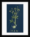 Ranunculus Sceleratus; Celery-Leaved Water-Crowfoot by Anonymous
