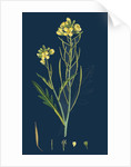 Brassica Tenuifolia; Wall Rocket by Anonymous