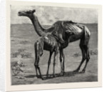 Camels from El-Teb, Soudan, at the Zoological Gardens: As They Were When Taken to the Gardens by Anonymous