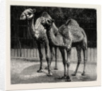 Camels from El-Teb, Soudan, at the Zoological Gardens: As They Are Now by Anonymous