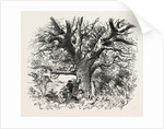 A Buck-Hunting Excursion in South Africa: A Yellow-Wood Tree by Anonymous