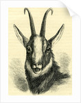 Head of Chamois Switzerland by Anonymous