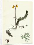 Utricularia Intermedia Intermediate Bladderwort by Anonymous