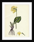 Primula Elatior Jaquin's Oxlip by Anonymous
