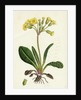 Primula Officinali-Vulgaris Cowslip Oxlip by Anonymous