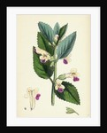 Melittis Melissophyllum (Grandiflora) Bastard Balm by Anonymous