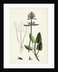 Stachys Betonica Wood Betony by Anonymous