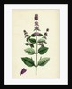 Mentha Sativa Var. Paludosa Marsh Whorled Mint Var. B. by Anonymous