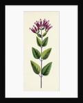Origanum Vulgare Var. Prismaticum Common Marjorum Var. B. by Anonymous