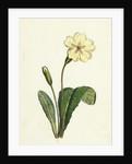 Primula Vulgaris Common Primrose by Anonymous