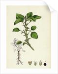 Amaranthus Blitum Wild Amaranth by Anonymous